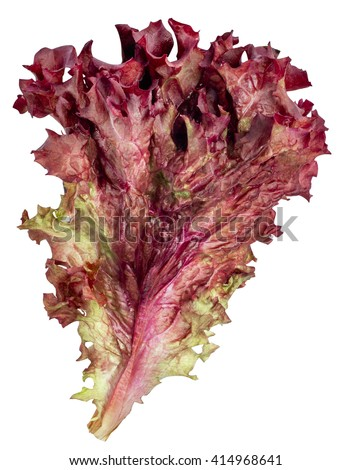 vegetable salad lettuce Lollo Rosso isolated on white background. Sheet of curly violet lettuce  - stock photo