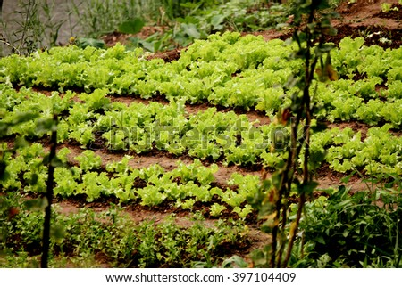 Vegetable, salad, plantation beside the river. - stock photo