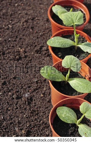 Vegetable seedlings closeup  growing in pots