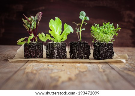 Vegetable seedlings  on rustic wooden table. Selective focus. - stock photo