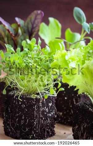 Vegetable seedlings. Selective focus. - stock photo