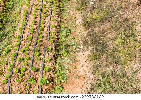 vegetable : vegetable grown in rows - stock photo