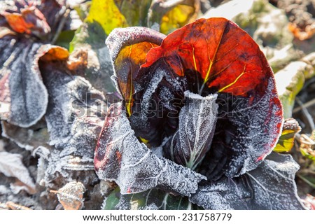 Vegetables are covered hoarfrost in the frosty morning - stock photo