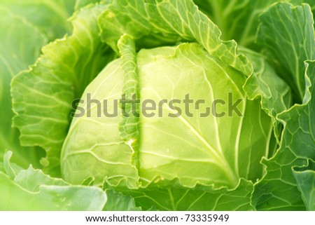 Cabbage plantation stock photos illustrations and vector art