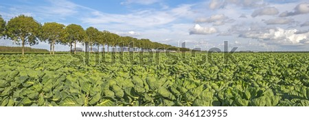 Vegetables growing in a field in summer