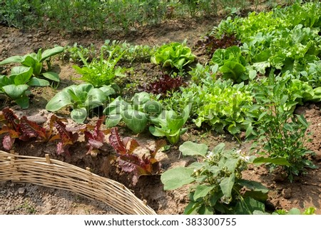 Vegetables growing out of the earth in the garden
