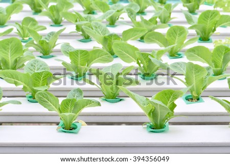 Vegetables hydroponic farm, Yuong lettuce on plastic shelf in a row - stock photo