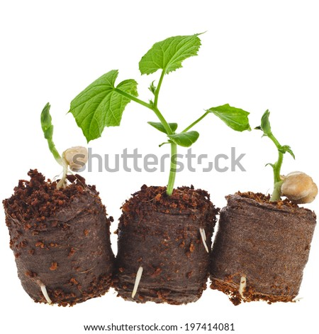 Vegetables Seedlings in peat  tablet pot  isolated on white background - stock photo