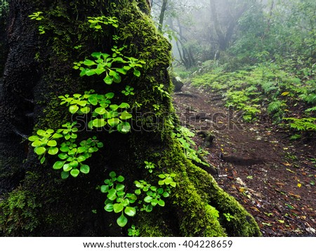 Vegetation growing on a tree trunk in the ancient 'laurisilva' rain-forest, on the island of La Gomera.  Garajonay National Park, Canary Islands, Spain - stock photo