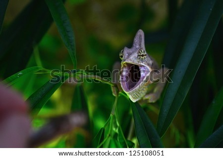 Veiled chameleon - stock photo
