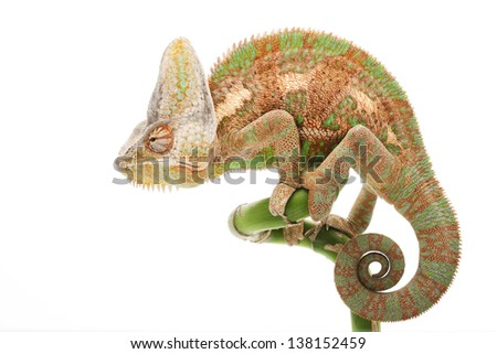 Veiled Chameleon (Chamaeleo calyptratus) isolated on white background.