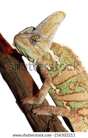 veiled chameleon ( Chamaeleo calyptratus ) isolated over white background - stock photo