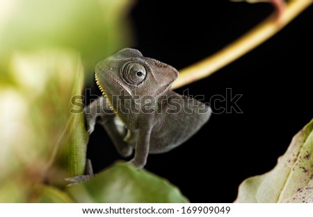 Veiled chameleons (Chamaeleo calyptratus, Yemen chameleon) have a reputation of being aggressive and territorial, particularly in captivity.