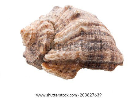 Veined rapa whelk, Venous rapana on a white background, the inhabitant ...