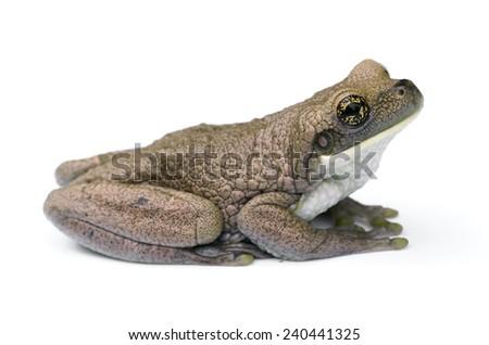 Veined tree frog (Trachycephalus venulosis) - stock photo