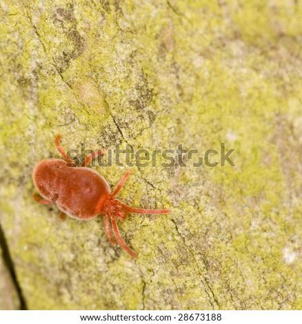velvet mite  ( Trombidium sp ) - stock photo