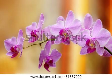 Velvet orchid - stock photo