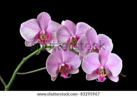 Velvet orchid flowers on black - stock photo