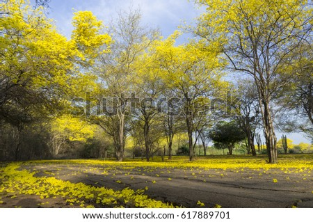 Venezuela national tree, in the spring this tree blooms only 3 days