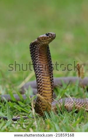 Venomous cape cobra snake with it's hood spread - stock photo