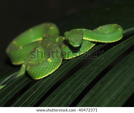 venomous green eyelash pit viper on leaf, cahuita, costa ...