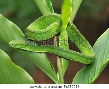 venomous green tree pit viper camouflaged on plant, arena, costa rica, latin america, deadly snake - stock photo