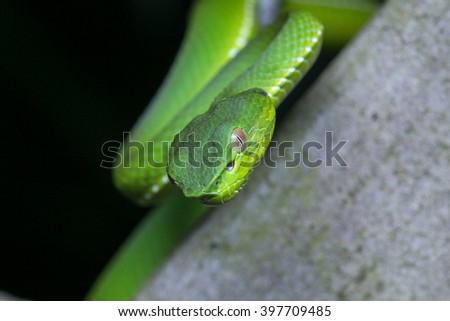 Venomous green viper close-up / White-lipped Pit Viper in Kundasang Nation Park, Borneo - stock photo
