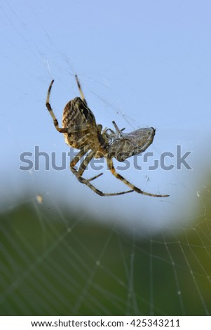 Venomous Predator Spider and his Victim wrapped around by cobweb, hangs on mesh from web