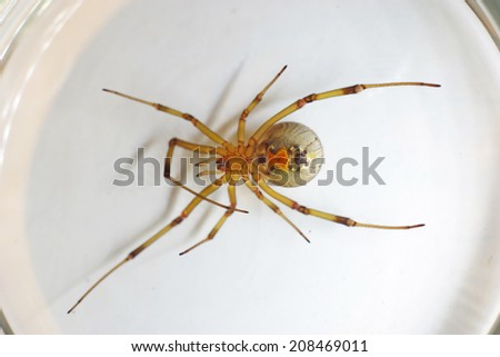 Ventral side of the Brown Widow spider show the hourglass pattern on the abdomen - stock photo