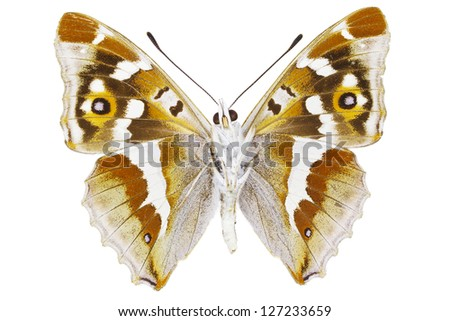 Ventral view of Aglais iris (Purple Emperor) butterfly isolated on white background.