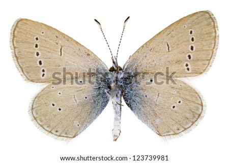 Ventral view of Cupido minimus (Little Blue) butterfly isolated on white background.