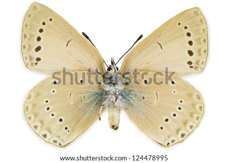 Ventral view of Iolana iolas (Iolas Blue) butterfly isolated on white background.