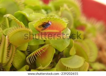 Venus flytrap (Carnivorous plant), seconds before it eats a fly. - stock photo