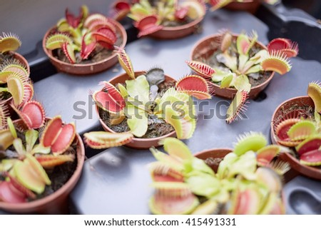 free venus flytrap dionaea muscipula flowers in pots on tray with cuisine fly 3d. Black Bedroom Furniture Sets. Home Design Ideas