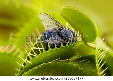 Venus flytrap - dionaea muscipula with trapped fly - stock photo