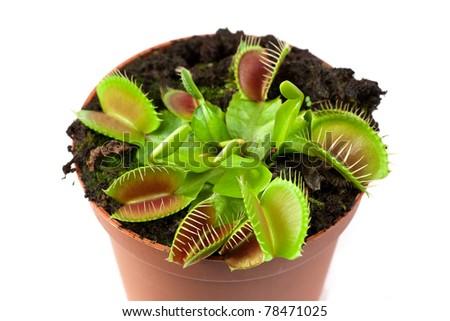 Venus flytrap plant (dionaea muscipula) in a pot. - stock photo