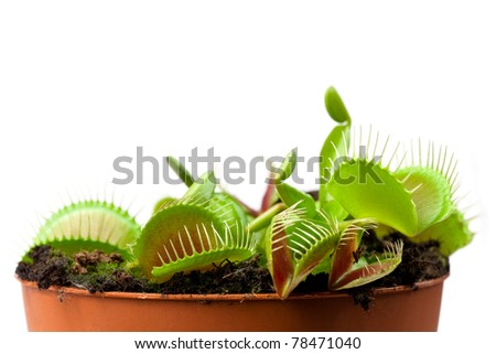 Venus flytrap plant (dionaea muscipula) in a pot, side view, room for text. - stock photo