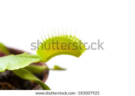 Venus flytrap plant, isolated on white background - stock photo