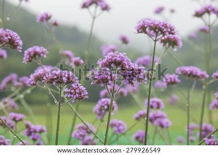 Verbena - stock photo