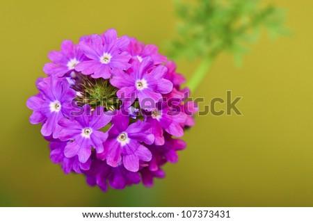 verbena flower in garden - stock photo