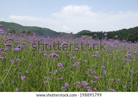 verbena plant scale planting - stock photo