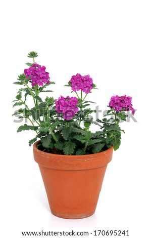 Verbenas are an often used plant for the balcony - stock photo