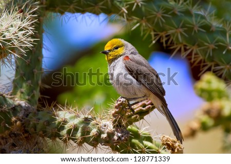 Verdin Songbird in natural dessert cacti environment.