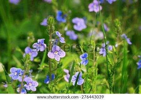 Veronica chamaedrys flower (germander speedwell, bird's-eye speedwell) - stock photo
