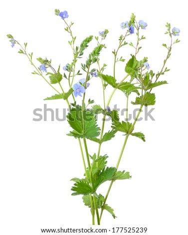 Veronica chamaedrys flowers isolated on white background - stock photo