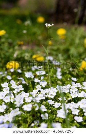 Veronica filiformis Slender speedwell white blue little flowers dandelions background - stock photo