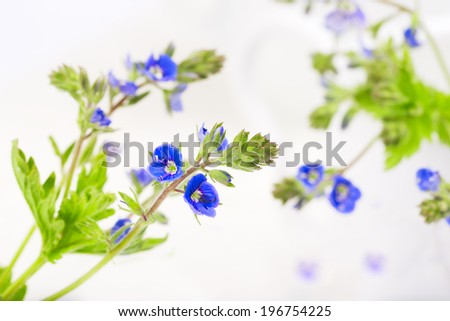 Veronica flower on white background