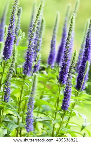 Veronica plant - stock photo