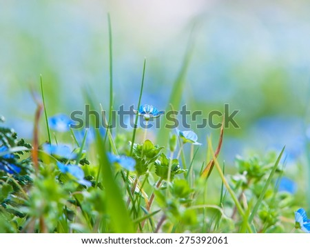 Veronica polita or Grey Field-speedwell (lilacina) blooming in spring. A tiny flower blooming between strands of grass. Shallow depth of field due to subject size. - stock photo