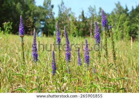 Veronica spicata. Spikes of blue Speedwell on the meadow. - stock photo